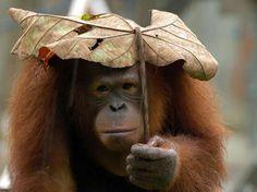 Orangutan with a fitting, natural sun umbrella two-season-old