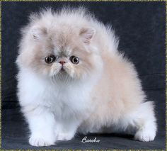 Beautiful baby bi-color cream and white Persian