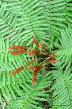 The cinnamon fern is a perennial fern with with specialized pinnae that turn cinnamon colored. Fronds can grow 5'. Prefers shade and moist ground. Can grow in sunny area if there is plenty of moisture.