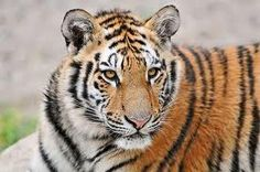 DEMAND China Enforce A Ban on Tiger Products - The popularity of tiger parts has led Beijing to consider legalizing the trade–an ATROCTIY that would surely hasten the tiger's path to extinction!  PLZ Sign and Share!