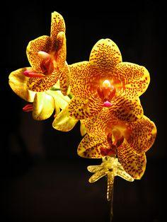 Phalaenopsis, via Flickr.