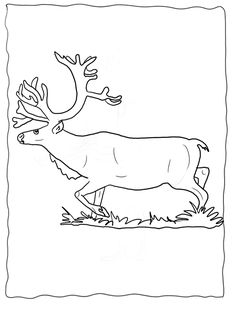 Real Reindeer Coloring Pages Realistic Reindeer Pictures And Sketches To  Color, Echou0027s Original Realistic Reindeer Pictures To Color From Our Real  Animal ...