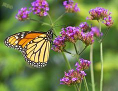Vervain (Verbena):  Good pollinator plant - Verbena attracts monarchs, bumble bees, commas, eastern tiger swallowtails, fritillaries, giant swallowtails, hairsteaks, honey bees, hummingbird moths, hummingbirds, painted ladies, red admirals, skippers, sulphurs, and more.