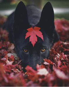 The many things we love about the intelligent German Shepherd Puppies Cute Puppies, Cute Dogs, Dogs And Puppies, Doggies, Cute Animal Pictures, Dog Pictures, Fall Dog Photos, Animals And Pets, Cute Animals