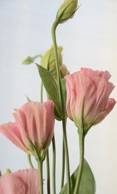 … лизиантус — один из моих любимых цветет ~ М