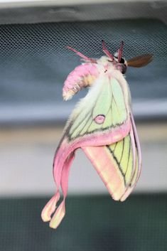 "butterfly-and-moth-species: ""Moon moth hybridGraellsia isabellae × Actias dubernardi hybrid Family: Saturniidae "" Animals And Pets, Baby Animals, Funny Animals, Cute Animals, Cool Insects, Bugs And Insects, Beautiful Bugs, Beautiful Butterflies, Pretty Animals"