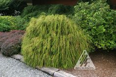 Thuja plicata 'Whipcord':  'Whipcord' is a shrubby, slow-growing, dwarf form that features pendulous whipcord-like green foliage which droops from branchlets rising upward from the center before arching downward.