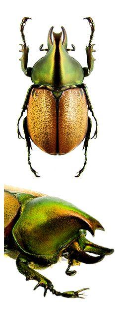 Agaocephale mannerheimi
