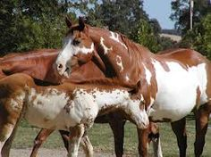 Image result for paint horse