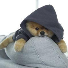 Perros que merecen más seguidores que tú: Doug The Pug - cute pugs - Cute Baby Dogs, Cute Little Puppies, Cute Dogs And Puppies, Pug Dogs, Doggies, Cute Funny Animals, Cute Baby Animals, Animals And Pets, Doug The Pug