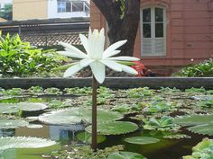 Plantas aquáticas - Ninphea www.casaecia.arq.br  Cursos on line de Paisagismo e Jardinagem.