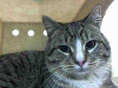 TO BE DESTROYED 2/14/15<br />Brooklyn Center<br /> <br />My name is SKIPPER. My Animal ID # is A1027609.<br />     I am a  male brn tabby and white domestic sh mix. The shelter thinks I am about 1 YEAR <br /> <br />     I came in the shelter as a STRAY on 02/10/2015 from NY 11236, owner surrender      reason stated was STRAY. <br /> <br /> MOST RECENT MEDICAL INFORMATION AND WEIGHT<br />02/11/2015 Exam Type VACCINATE -  Medical Rating is 1 - NORMAL , Behavior Rating is NONE, Weight 7.5…
