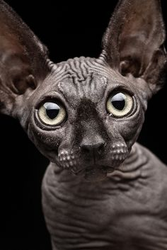 """I saw you blink first!"" A cute Sphinx cat with big eyes!"