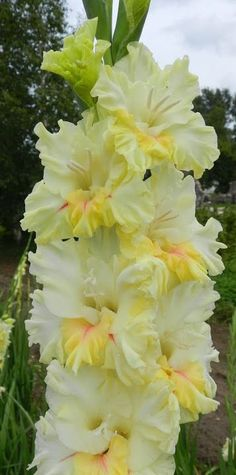 Garden Flowers - Annuals Or Perennials Gladiolus - Ritvars S - Picasa Web Albums Gladioli, Yellow Flowers, Beautiful Flowers, Yellow Peonies, Dahlia, Gladiolus Flower, Blossom Garden, Raised Garden Beds, Daffodils