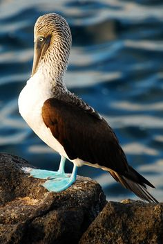 Galapagos Islands-48--A Blue-Footed Booby on North Seymour Island.