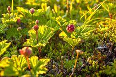 Bakeapples by Newfoundland and Labrador Tourism, via Flickr