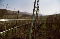 prospettiva vitivinicola