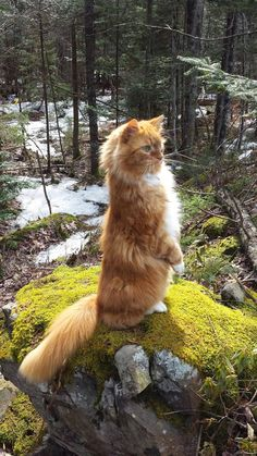 If this isn't a Maine Coon - it will be a close neighbour - the Norweigan Forest Cat. Gorgeous!