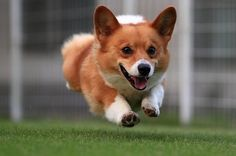 cute running jump welsh corgi