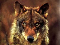White Wolf : Animal Guides: What is the Wolf Spirit Animal Meaning?