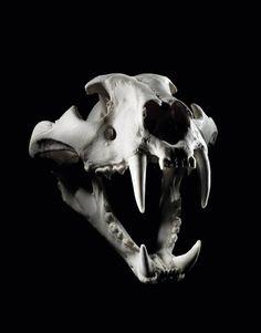 Dog Skull, Human Skull, Skull Art, Animal Skeletons, Animal Skulls, Skull Reference, Skull Model, Skeleton Anatomy, Sketch Tattoo Design