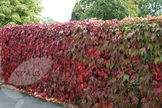 Parthenocissus tricuspidata 'Veitchii' - Boston Ivy. A big, tough, fast growing climber with lovely autumn colour. Another one to use to disguise those dull fences perhaps? Particularly over behind the shed where its shady and akward.... £14.99
