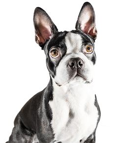 Beautiful Boston Terrier! Love the ears!