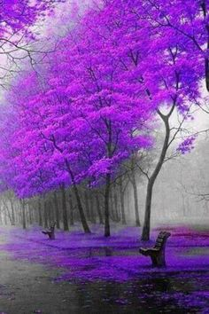purple nature flowering trees photography gorgeous beautiful sublime