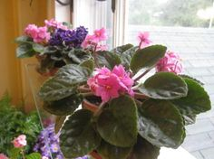 Violets: How to Achieve Constant Bloom Giving African Violets everything they need.Giving African Violets everything they need. House Plants, Flowers, House Plant Care, Flower Care, Propagating Plants, Flower Pot Design, Winter Plants, Container Gardening Flowers, African Violets