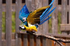 Blue-and-yellow Macaw - Ara ararauna - Blauwgele Ara by Ed Steenhoek, via Flickr
