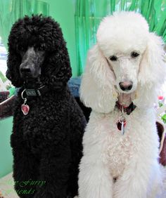 Pet Grooming: The Good, The Bad, & The Furry: Poodle Topknots