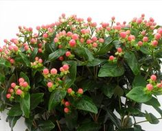 Blushing Coral Romance - Hypericum - Flowers and Fillers - Flowers by category   Sierra Flower Finder