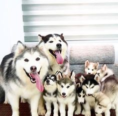 Wonderful All About The Siberian Husky Ideas. Prodigious All About The Siberian Husky Ideas. Animals And Pets, Baby Animals, Funny Animals, Cute Animals, Cute Dogs And Puppies, I Love Dogs, Doggies, Corgi Puppies, Huskies Puppies