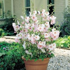 Lavatera x clementii 'Barnsley Baby'Mallow Lavatera 'Barnsley Baby' - Cottage Garden Plants - Van Meuwen Cottage Garden Plants, Garden Shrubs, Garden Pots, Garden Deco, Container Flowers, Container Plants, Container Gardening, Large Plants, Potted Plants