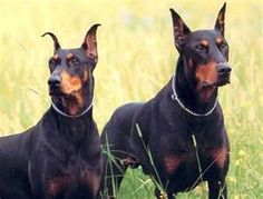 IDK why everyone hates pits... Doberman Pinschers make me more uneasy then they do.. (I blame disney for the one (oliver and company))