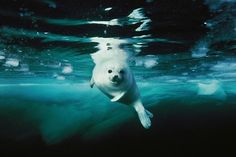 Picture of a harp seal