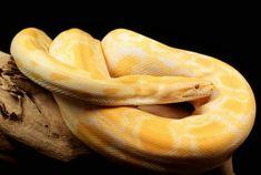 beautiful albino Burmese python - My favorite Snake Snakes For Sale, Pythons For Sale, Burmese Python, Largest Snake, Beautiful Snakes, King Cobra, Prehistoric Creatures, Dog Fence, Snakes