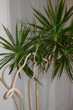 Indoor Plant -- Madagascar Dragon Tree, easy to keep inside and thrives on neglect, always look healthier with a bit of attention, so water weekly. Easy to grow from cuttings, so if you want to give them a little trim, you can have fun propagating.