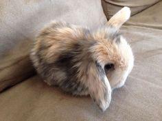 Pure Bred Harlequin Cashmere Mini Lops | Rabbits | Gumtree Australia Hepburn…