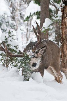 Snowy mule deer. #Muley #Deer