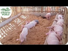 How to Make No-smell Pig Pen, Backyard Piggery, Baboyang Walang Amoy - Modern Small Pigs, Small Farm, Pig Farming, Backyard Farming, Pig Fence, Pig Shelter, Hog Farm, Chicken Feeders, Mini Pigs