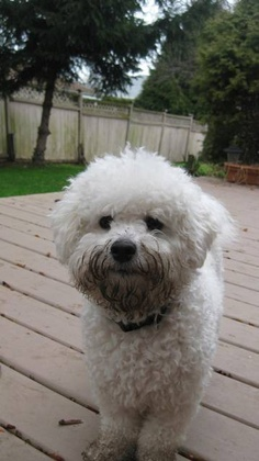 Bichon Frise - Rufus has looked like this after playing outside on many occasions :)