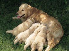 Poster Print Wall Art Print entitled Golden retriever nursing puppies, None Chien Golden Retriever, Golden Retrievers, Poodles Toy, Small Puppies, Dogs And Puppies, Doggies, Chihuahua Puppies, Dog Labor, Newborn Puppies
