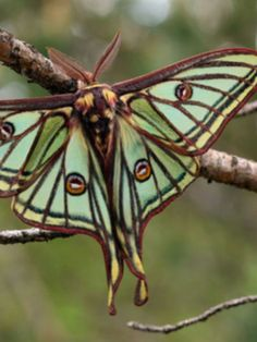 """dickensian-dandy: """"Luna Moth """""""