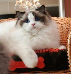 ragdoll cat - #smallcat- See more stunning Ragdoll Cat Breeds at Catsincare.com!