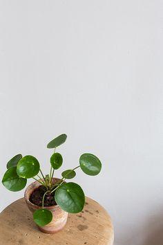 Wonderful houseplants: The Chinese money plant Cactus Plante, Pot Plante, Indoor Garden, Indoor Plants, Home And Garden, Cactus E Suculentas, Chinese Money Plant, Plants Are Friends, Ficus