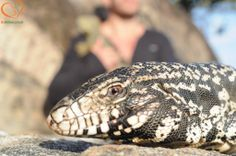 Seja Extraordinário, Seja BEAnimal #tegu #teiú #lizard #lagarto #EducaçãoAmbiental #EnvironmentalEducation #família #family #pet #animal #BemEstarAnimal #AnimalWelfare