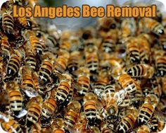 Carpenter bees are large bees that are typically mostly black with some yellow. They are usually solitary, though some species live in small familial social groups.  http://www.bee-hive-removal-los-angeles.com/stinging-pests