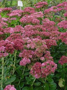 Sedum Autumn Fire - Plants go from light rose to bright red to deep bronze red in color as fall turns into winter. 18-24 inch tall and 20 - 30 inches wide. Very showy in the late fall- leave the stems on over winter and they look great in the snow- keeping a rusty red color.