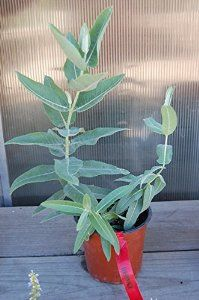 "Showy Milkweed: Well Established: Container Size: 2 Qt. Asclepias speciosa Full sun Height: 1-3' Spread: 12-18"" Zone: 4 to 10"